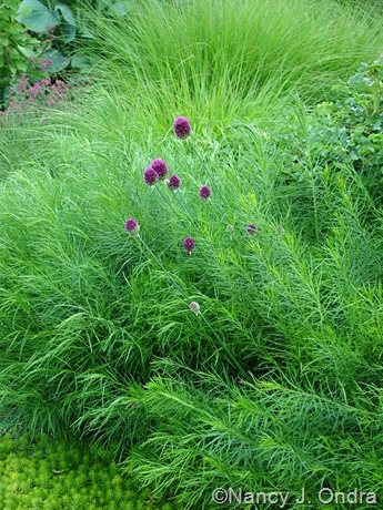 Allium Drumstickflowers on Amsonia Hubrichtii With Allium Sphaerocephalon And Sedum  Angelina
