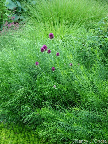 Amsonia hubrichtii with Allium sphaerocephalon and Sedum 'Angelina' [July 4, 2007]