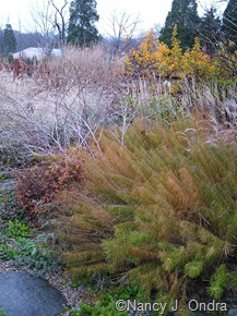 Amsonia hubrichtii with Rubus thibetanus 'Silver Fern' [November 22, 2007]