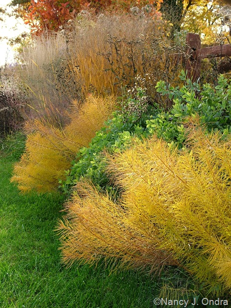 Amsonia hubrichtii with Baptisia 'Purple Smoke' and Panicum virgatum [October 25, 2009]