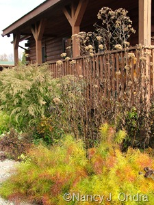Amsonia hubrichtii Amsonia hubrichtii with Eupatoriadelphus maculatus 'Carin' and Eupatorium capillifolium [October 22, 2006]