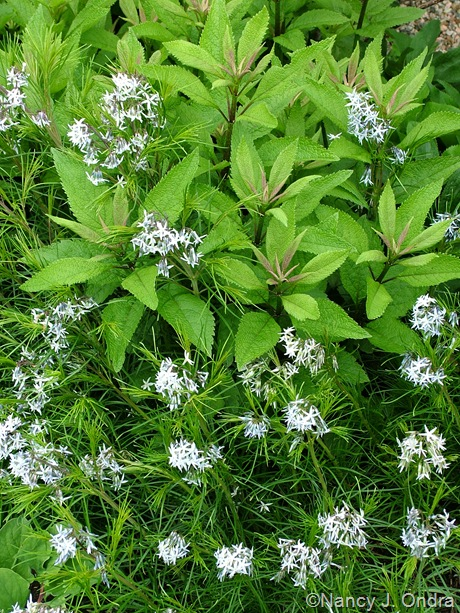 Amsonia hubrichtii with Eupatoriadelphus maculatus 'Carin' [May 15, 2006]