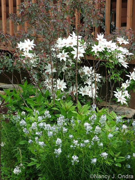 Amsonia hubrichtii with Rosa glauca and unnamed clematis [May 20, 2007]