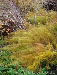 Amsonia hubrichtii with Rubus thibetanus 'Silver Fern' [November 14, 2008]