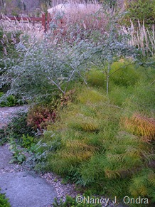 Amsonia hubrichtii with Rubus thibetanus 'Silver Fern' [November 2, 2007]