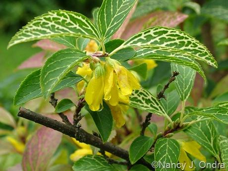 Forsythia viridissima var. koreana 'Kumson' [August 29, 2009]