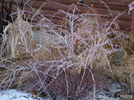 Rubus thibetanus 'Silver Fern' [December 14, 2007]