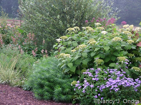 Amsonia hubrichtii with Ageratum 'Blue Horizon', Hydrangea, and Salix alba var. sericea [July 29, 2007]