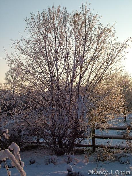 Salix alba var. sericea mid-December 2009