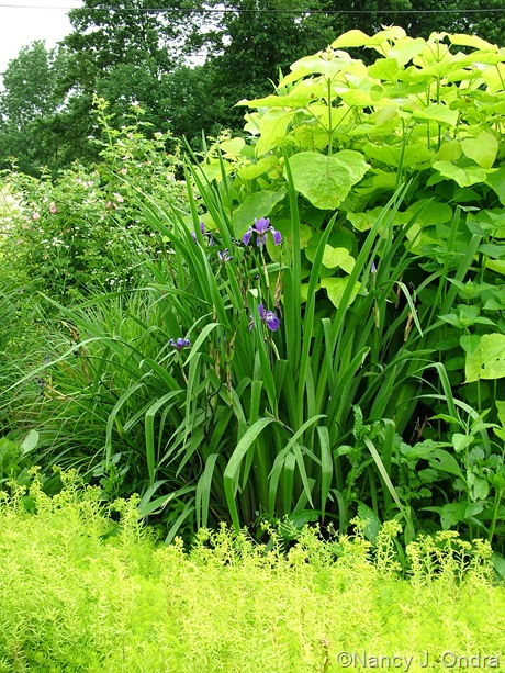 Catalpa bignonioides 'Aurea' with Iris 'Gerald Darby' and Sedum 'Angelina'