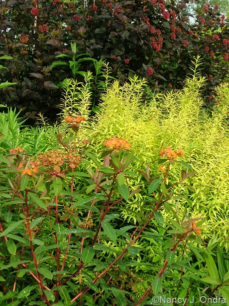 Euphorbia griffithii 'Fireglow' with Spiraea thunbergii 'Ogon' (Mellow Yellow) and Physocarpus opulifolius 'Monlo' (Diabolo)