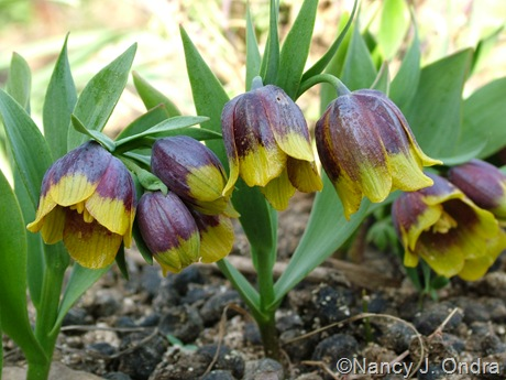 Fritillaria michailovskyi mid-April 2011