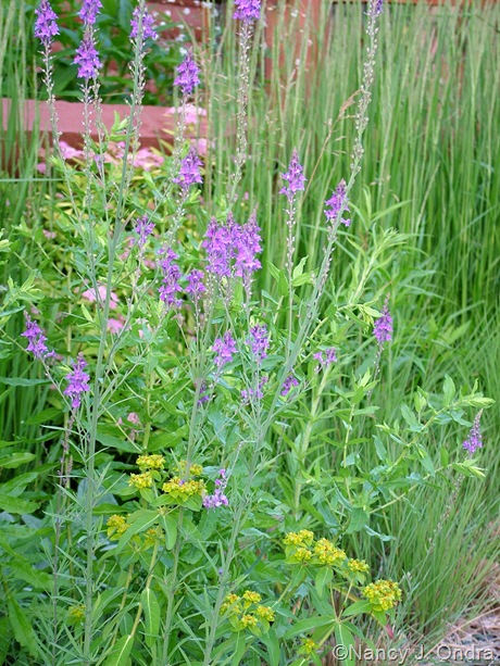 Linaria purpurea with Euphorbia oblongata