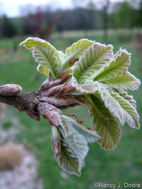 Quercus dentata mid-April 2010