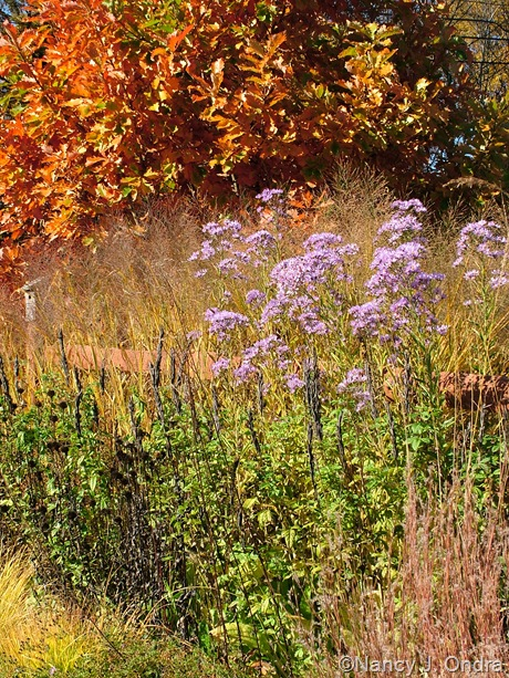 Quercus dentata with Aster tataricus, Thermopsis caroliniana seedheads, and Panicum virgatum 'Dallas Blues' late October 2009