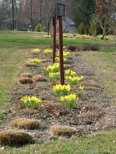 Long border with narcissus mid-April 2011