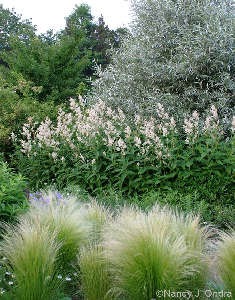 Salix alba var. sericea with Persicaria polymorpha and Stipa tenuissima mid-June 2008