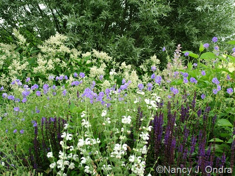 Salvia argentea with Salvia 'Caradonna', Geranium 'Brookside', and Persicaria polymorpha