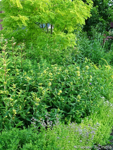 Diervilla sessilifolia with Origanum vulgare 'Aureum' and Robinia pseudoacacia 'Frisia' mid-July 2009