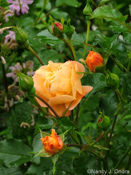 Rosa 'NOA97400A' (Flower Carpet Amber)