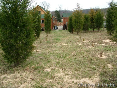 Eastern red cedar allee in progress mid-April 2011