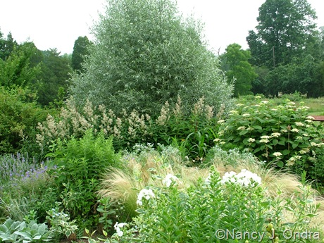 Salix alba var. sericea with Stachys byzantina 'Big Ears', Phlox 'David', Stipa tenuissima, Persicaria polymorpha, and Hydrangea early July 2008