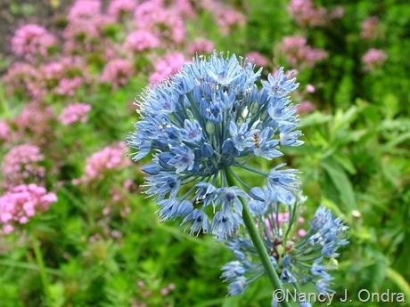 Allium azureum [caeruleum] June 13 09 njo 2