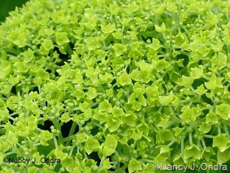 Hydrangea arborescens subsp. radiata