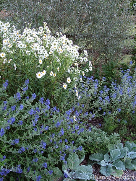 Salix alba var. sericea with Leucanthemella serotina, Caryopteris x clandonensis, and Salvia argentea mid-September 2007