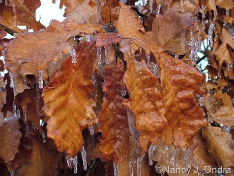 Quercus dentata mid-December 2007