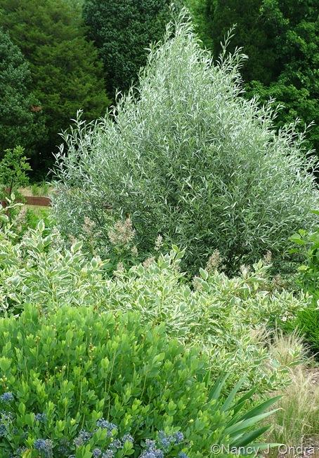Salix alba var. sericea with Allium caeruleum, Baptisia sphaerocarpa 'Screamin' Yellow', Iris 'Edith Wolford' foliage, and Cornus sericea 'Silver and Gold' mid-June 2007