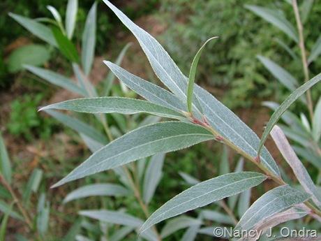 Salix alba var. sericea foliage mid September 2005