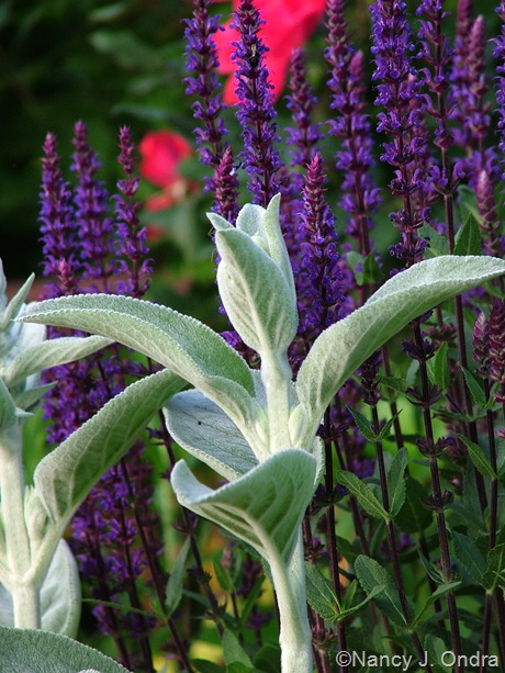 Stachys byzantina 'Big Ears' with Salvia 'Caradonna' late May 10