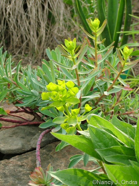 Euphorbia nicaeensis