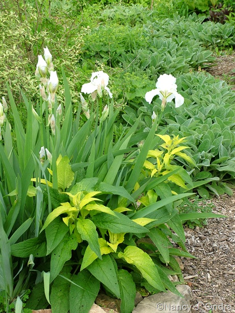 Iris 'Immortality' with Symphytum 'Belsay Gold' seedling