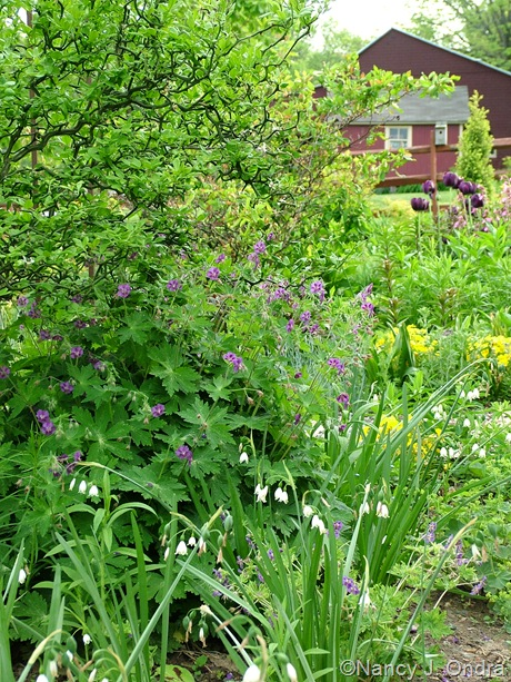 Geranium phaeum with Leucojum aestivum 'Gravetye Giant' and Poncirus trifoliata 'Flying Dragon'