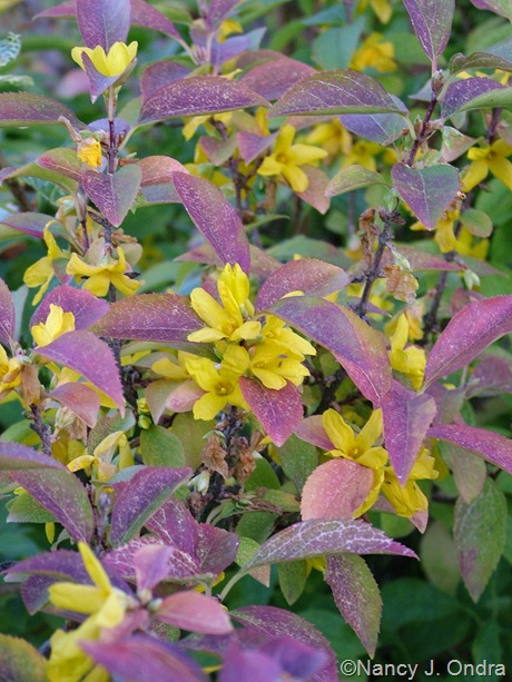 Forsythia viridissima var. koreana 'Kumson' mid-October 08