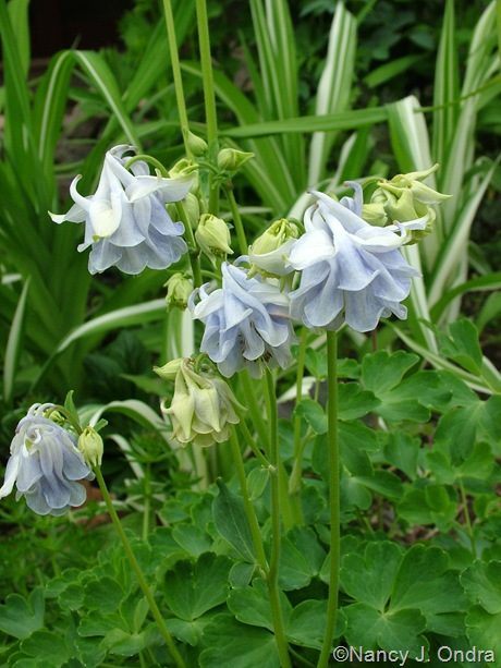 Aquilegia 'Touchwood Supreme Mix' seedling
