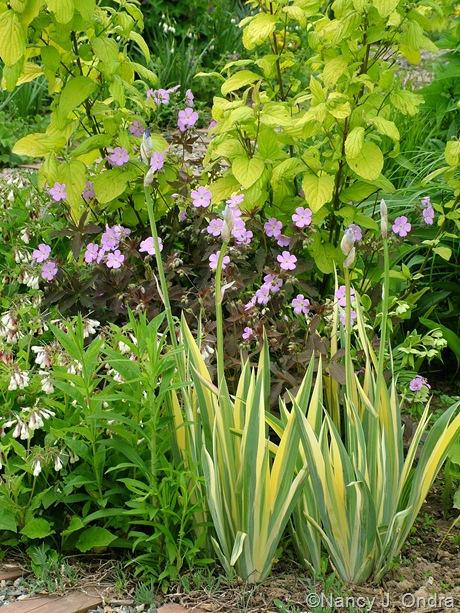 Iris pallida 'Vareigata' with Geranium maculatum 'Espresso' and Cornus sericea subsp. occidentalis 'Sunshine'
