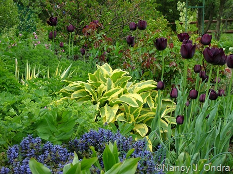 Symphytum x uplandicum 'Axminster Gold' with Ajuga reptans 'Valfredda' (Chocolate Chip) and Tulipa 'Queen of Night'