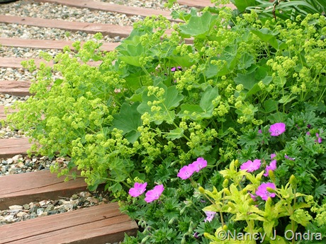 Geranium sanguineum 'New Hampshire Purple' with Alchemilla mollis and Veronica 'Trehane'