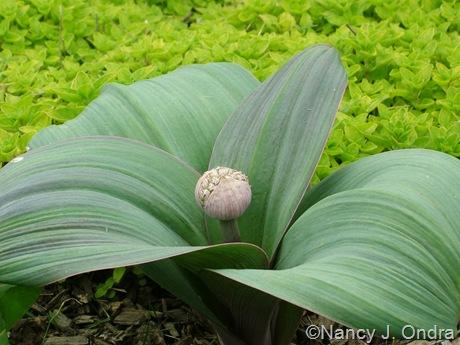 Allium karataviense with Origanum vulgare 'Aureum'