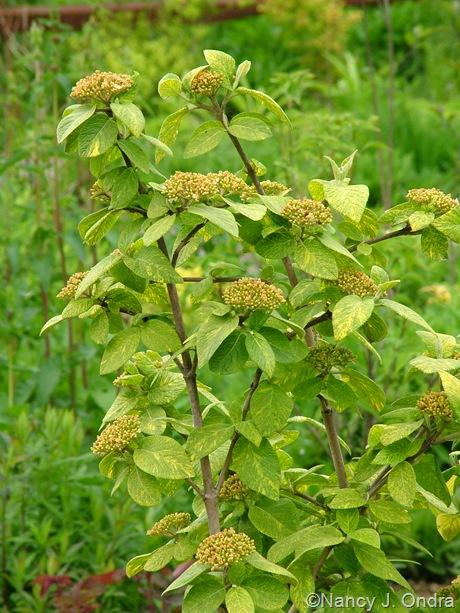 Viburnum lantana 'Variegatum'