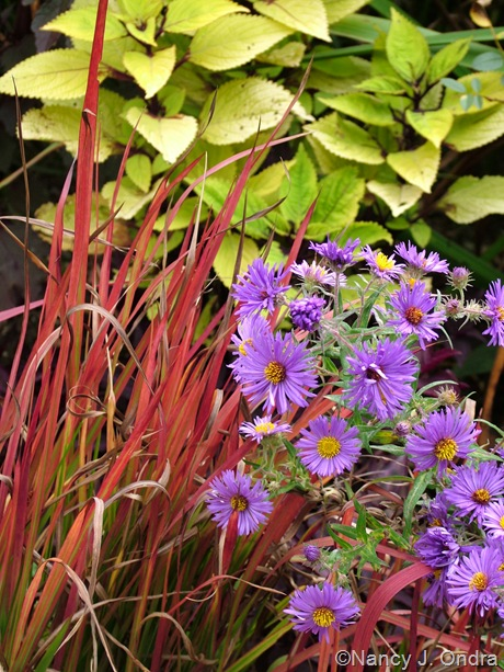 Imperata cylindrica 'Rubra' with Solenostemon 'Floricolor Gold Ring' and Symphyotrichum novae-angliae 'Hella Lacy' late September 10