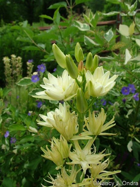 Camassia leichtlinii 'Semiplena'