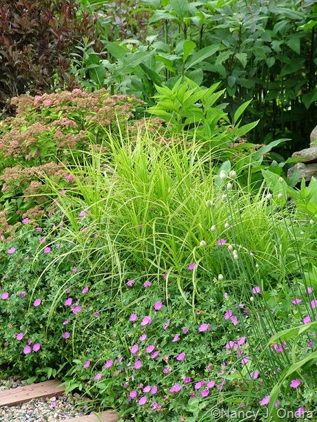 Carex muskingumensis 'Oehme' with Geranium sanguineum 'New Hampshire Purple'