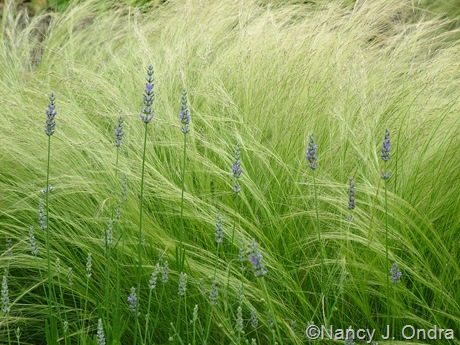 Lavandula x intermedia with Stipa tenuissima