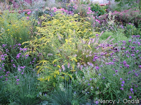Solidago rugosa 'Fireworks' with Verbena bonariensis and Pennisetum alopecuroides Sept 5 2008
