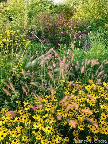 Rudbeckia fulgida var. fulgida with Pennisetum alopecuroides 'Cassian' and Gomphrena 'Fireworks' Aug 31 2010