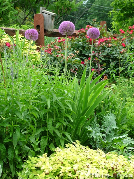 Allium 'Ambassador' with Veronica grandis, Pardancanda, Kale 'Russian Red', and Melissa officinalis 'All Gold'